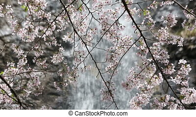 cherry blossom with waterfall