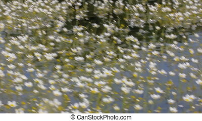 Rowing boat floats on water weeds buttercups. Camera moves...