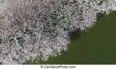 cherry blossom tree with lake - Japanese cherry tree near a...