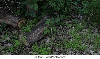 Poison Ivy around a log - This is a video of poison ivy...