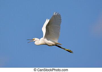 Snowy egret in flight-1