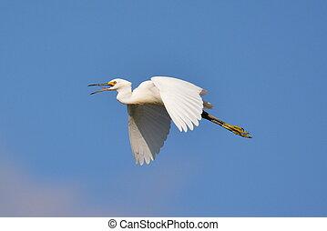 Snowy egret in flight-2