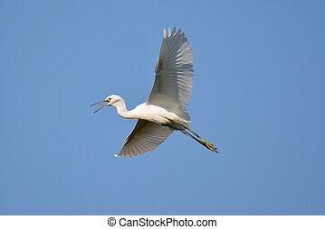 Snowy egret in flight-3