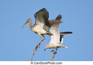 Ibis and gull - A laughing gull that has just landed on the...