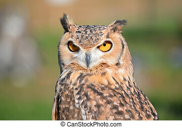 Wise owl - Close-up of a horned owl