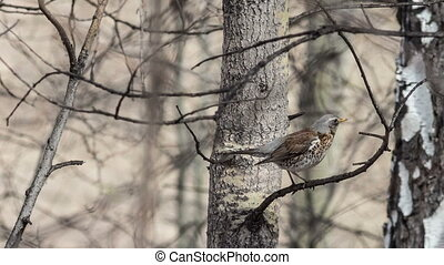 Fieldfare sits among the branches of a tree