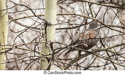 Hazel Grouse - Male Hazel Grouse sitting on a tree among...