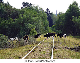 animal cow group passing railroad tracks in rural areas