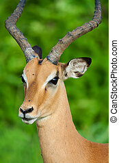 Male Impala - Cose up of a wild African Impala antelope