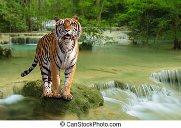 Tiger with waterfall