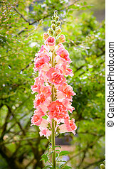 Snap dragon flower blooming in garden - Snap dragon flower...