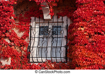Window with red vine plant in autumn