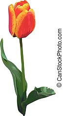 Realistic hand-drawn tulip Red and orange colors Isolated...