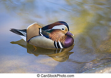 A male mandarin duck - The mandarin duck Aix galericulata...