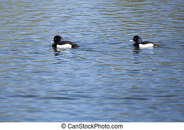 The tufted duck - The Tufted duck Aythya fuligula swimming...