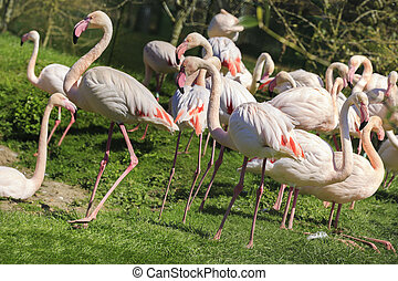 A flock of pink flamingos - a flock pink flamingos on land