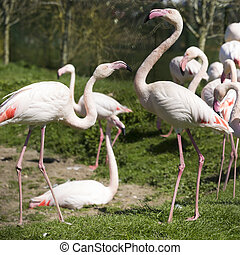 A flock of pink flamingos - square crop flock of pink...
