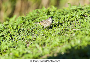 Palm Warbler pauses during foraging - Palm Warbler finds...
