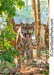 indochinese tiger facial expression after smelling femele