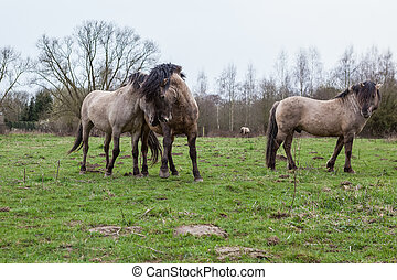 Konikhorse on the field - konik horse in the pasture love...