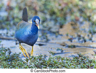 Purple Gallinule foraging - Intent Purple Gallinule foraging...