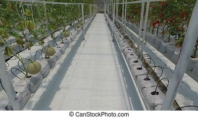 Melon fruit hanging in plant nursery in north thailand