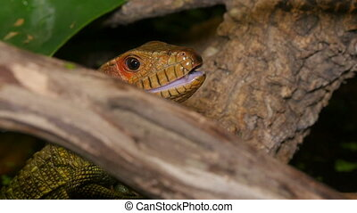 Reptile Face and Black Tongue - Reptile face closeup moving...