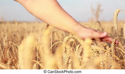 Male hand touching a golden wheat HD