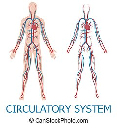 human circulatory system. vector illustration of blood...