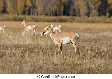 Pronghorn Antelope doe - a pronghorn antelope doe on the...