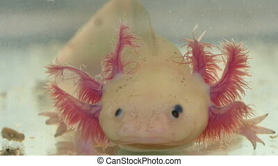 Axolotl Amphibian Face and Gill - Amphibian aquatic...