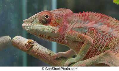 Chameleon Camouflage Reptile - Chameleons or chamaeleons...