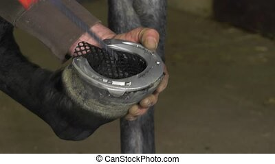 farrier replace horseshoes - the farrier injects protective...