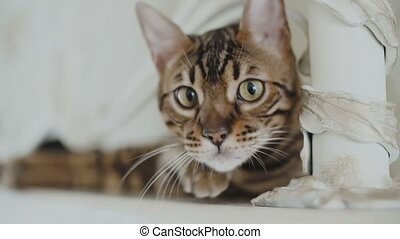 Bengal cat resting and looking straight into the camera...