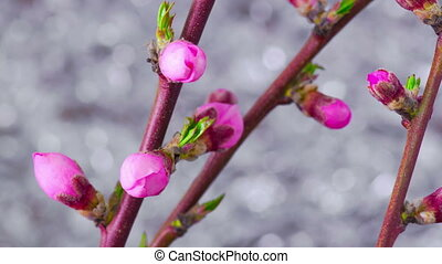 Pink Cherry Tree Flowers. - Pink Flowers Blossoms on the...