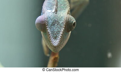 Chameleon Camouflage Reptile Branch