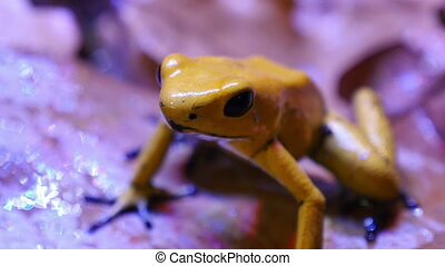 Golden Poison Arrow Frog - The golden poison frog,...