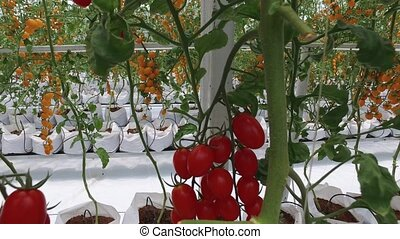 tomatoes growing on a farm