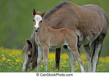 Welsh Pony Mare and Foal