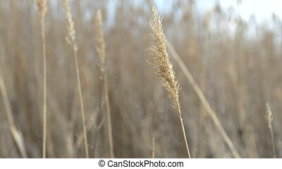 Dry reed waving and blowing on the wind - Reed waving and...