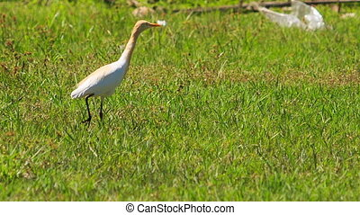 Long-necked White Bird Walks on Green Grass in Park -...