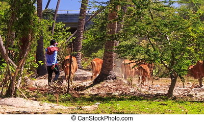 Cow-boy Drives Bull Herd through Fairy stream palm park to...