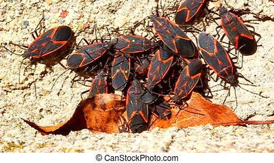 Boxelder Bugs on Building Illinois - Numerous Boxelder Bugs...