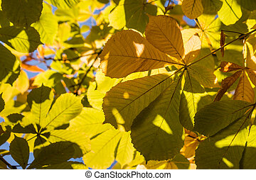 colorful horse chestnut leaves background