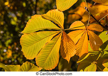 horse chestnut leaves in autumn colors