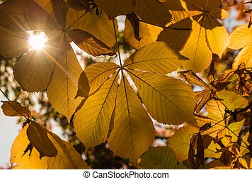 horse-chestnut leaves in autumn - horse-chestnut leaves with...