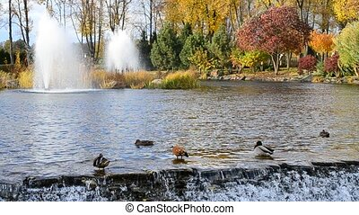 Ducks in pond clean their feathers in beautiful autumn park...