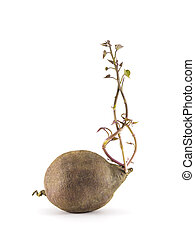 Growing sweet potato plant without soil isolate on white...
