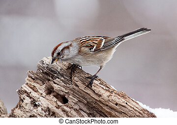 Song Sparrow Bird Perched on Rotted Tree Trunk - Song...