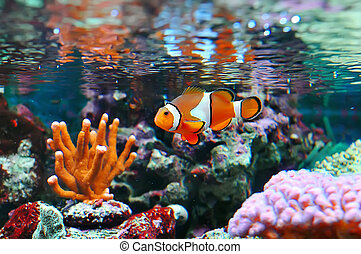 Ocellaris clownfish - The Marine Fish - Ocellaris clownfish